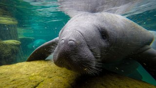 FILE - A manatee swims in a recovery pool at the David A. Straz, Jr. Manatee Critical Care Center in ZooTampa at Lowry Park in Tampa, Florida, on Jan. 19, 2021.