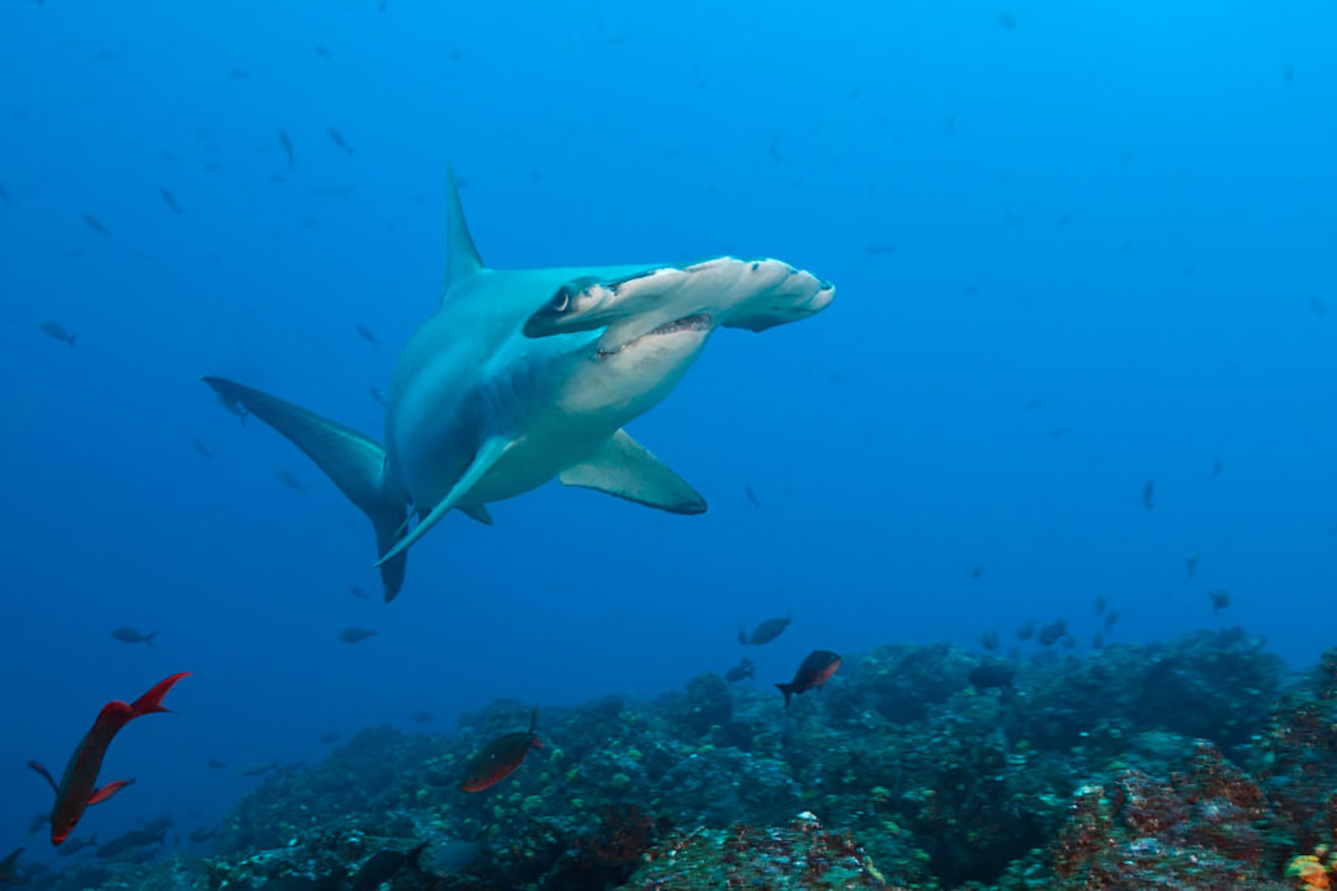 Biscayne Bay Is a Baby Shark Nursery for Hammerheads – NBC 6 South Florida