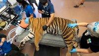 Zoo Miami Tiger Gets Fertility Test