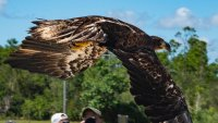 Bald Eagle Released Into The Wild After Fractured Wing
