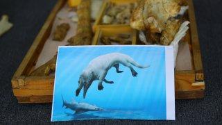 Egypt fossilized amphibious four-legged whale
