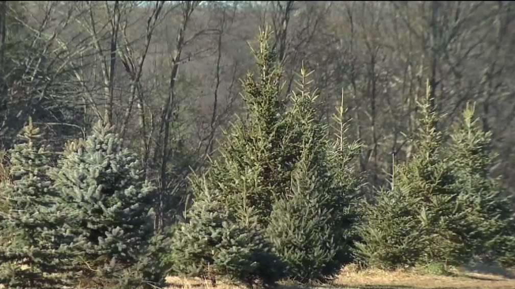 Christmas Tree Shortage.Christmas Tree Shortage Leads To Price Increases Nbc