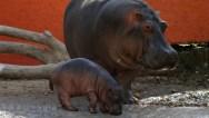 hippo-881225958