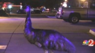 Escaped Emu Sends Florida Deputies on Chase