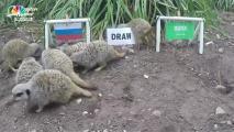 NAT_DIT_mystic_meerkats-152884302900700002 Mystic Meerkats Predict World Cup Outcomes