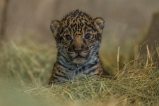 Newborn Jaguar Cub Debuts at San Diego Zoo