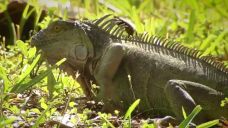 Iguanas Invading South Florida at Record Numbers: Experts