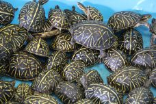 Two Men Charged in Florida's Largest Turtle-Poaching Ring