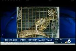 Lizard Found in Plane