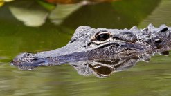 Officials Working to Identify Corpse Eaten by Alligators