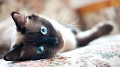 9 Teeny Tiny Cat Breeds That Are Hard to Resist