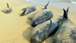 Whale Pod Stranded On Beach in India