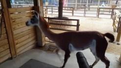 Llama Enjoys Leaf Blower's Breeze at Houston Zoo