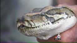 Python Hunt Winds Down in Florida Everglades