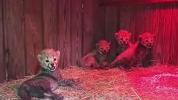 Cheetah Cubs Born at North Florida Conservation
