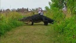 Visitors to Wildlife Preserve Catch Glimpse of Massive Gator