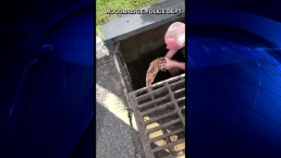 Video Shows Officer Rescue Baby Deer From Storm Drain