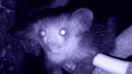 Baby Lemur Makes London Zoo Debut