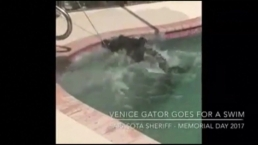 Florida Gator Found In Pool