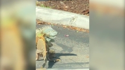 Iguanas Caught Fighting in Florida Parking Lot