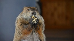 Punxsutawney Phil 'Indicted,' But Chuckles Was Right