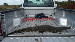 Killer Nile Crocs in Florida? Experts Say It's Possible