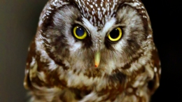 Smart Owls Head South For Better Weather