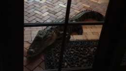 Alligator Shows Up on Parkland Family's Front Porch