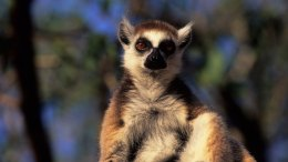 Woman Hospitalized After Lemur Attack