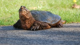 Florida Bicyclist Dies After Hitting Turtle in Roadway