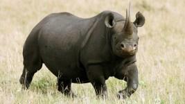 Texan Who Paid $350K Kills Endangered Black Rhino in Africa