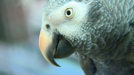 Pet Parrot May Serve As Witness In Murder Case