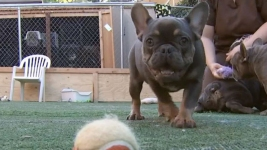 78 Bulldogs Rescued From Calif. Puppy Mill Need Homes
