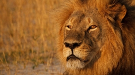 Lion's Killer Should Be Extradited: Zimbabwe