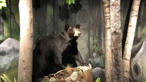 Black Bears 'Robust and Growing' in Florida: Report