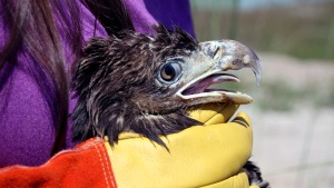 Young Bald Eagle Rescued at Florida Trash Collection Center