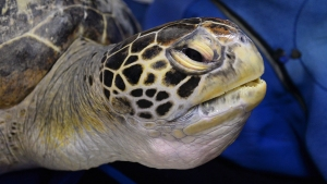 Green Sea Turtles Reclassified From Endangered to Threatened