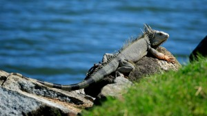 Why Are We Seeing More Green Iguanas in South Florida?