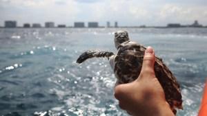 Sea Turtles Get Alternative Procedure Used to Treat Tumors