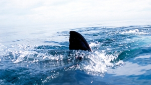 Katharine the Great White Shark Returns to Florida Waters