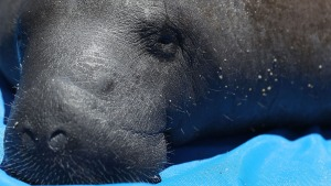 Baby Manatee Stranded During Irma Now Thriving at SeaWorld