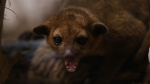 Florida Man Opens Front Door; Kinkajou Runs In, Bites Him