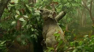 Zoo Miami Welcomes New Koala