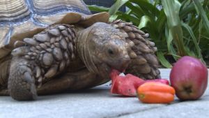 Therapy Tortoise Provides Comfort to Patients