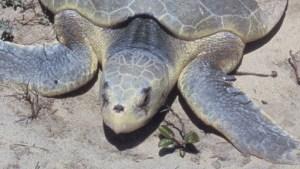 Rare Sea Turtles Spotted in Volusia County