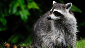 Burglary Suspect Turns Out to Be Raccoon Hiding Under Plant
