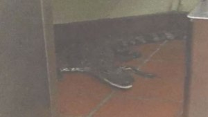 Man Throws Alligator Through Drive-Thru Window