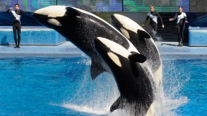 SeaWorld Prepares for Last Orca Birth at Its Parks