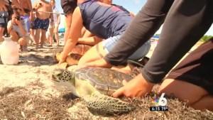 Rescued Sea Turtles Released Into Ocean