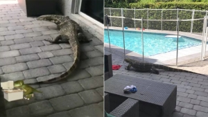 'A Big Fella': Giant Lizard Lurks in Davie Family's Backyard